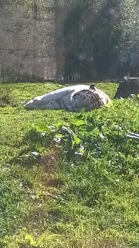 Zoo da Maia - tigre branco 2