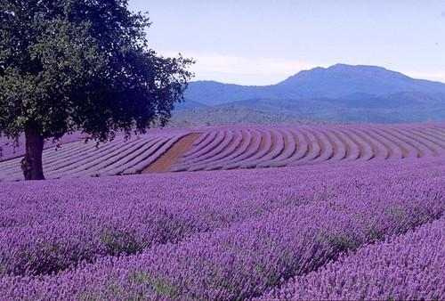 Perfumaria lavender-field1.jpg