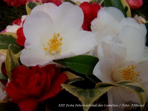 4 - XIII Festa Internacional das Camélias - Celor