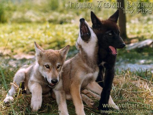 3_pups_one_howls.jpg