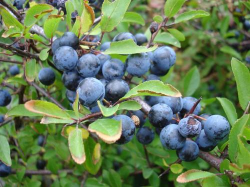 abrunheiro-bravo - Prunus spinosa.jpg