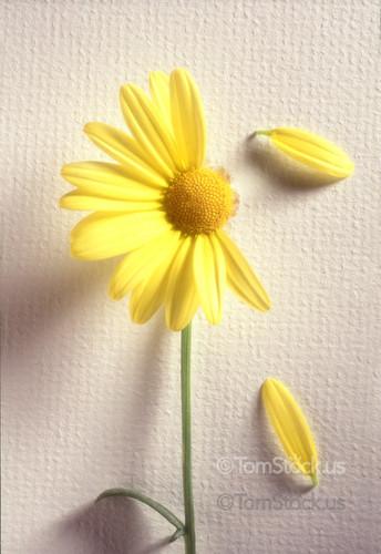 Daisy-losing-petals-1955.jpg