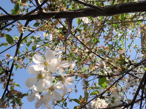 Cerejeira no quintal. Foto de D.A.P.L.