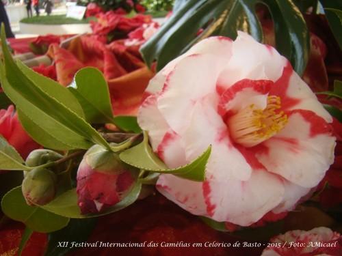 3 - Festa Internacional das Camélias em Celorico