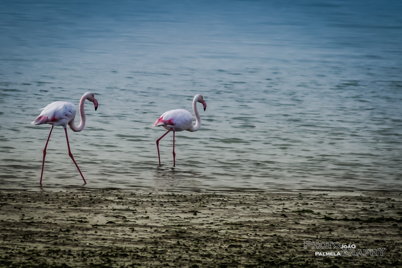 Os Flamingos!