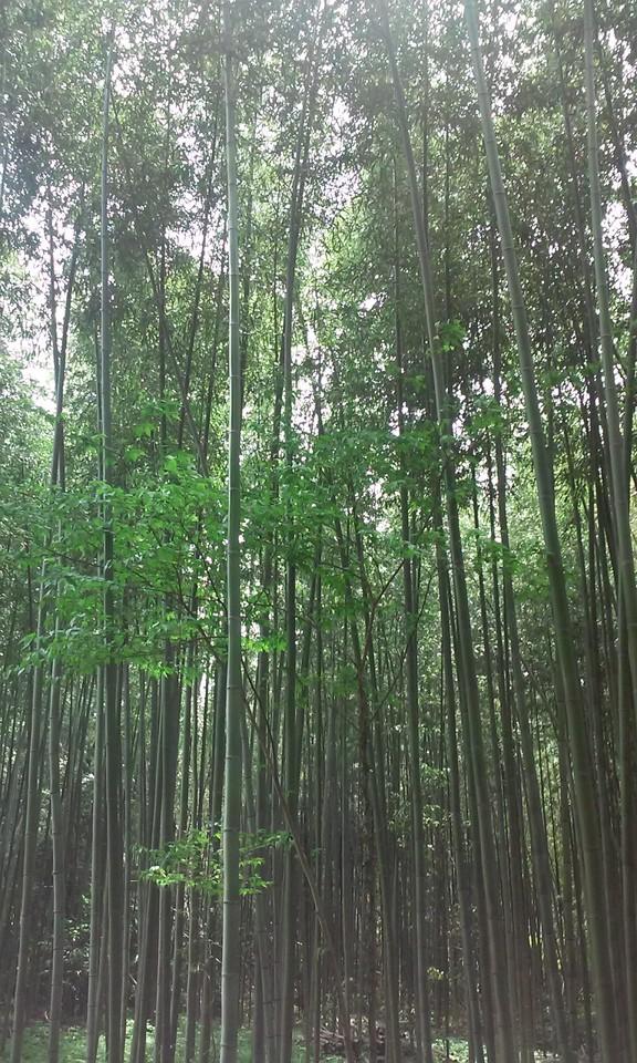 japao_bambu_kyoto.jpg