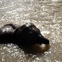 Elefante bebé toma banho no rio