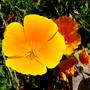 Eschscholzia_californica.jpg