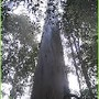 eucalipto maior.jpg