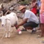 Criação de cabras..gif