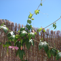 Passiflora_molissimaFR.JPG
