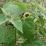 Physalis_peruvianus_flor.jpg
