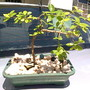 bonsai de acerola
