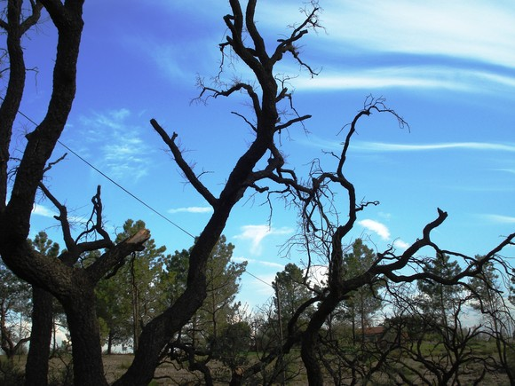 árvores queimadas