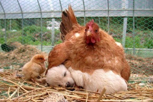 galinha.jpg