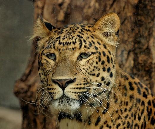 leopardo-china-D.P..jpg