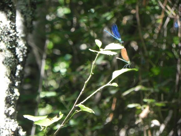 par de libelinhas