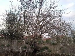 Foto1915. Amendoeira do quintal. Foto D.A.P.L.jpg
