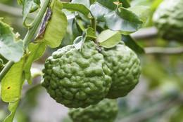 bergamota-una-fruta-ideal-para-relajarse-2.jpg