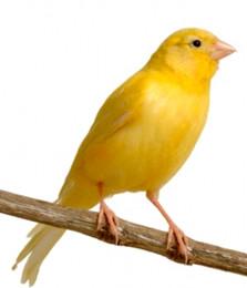 Canario amarelo.jpg